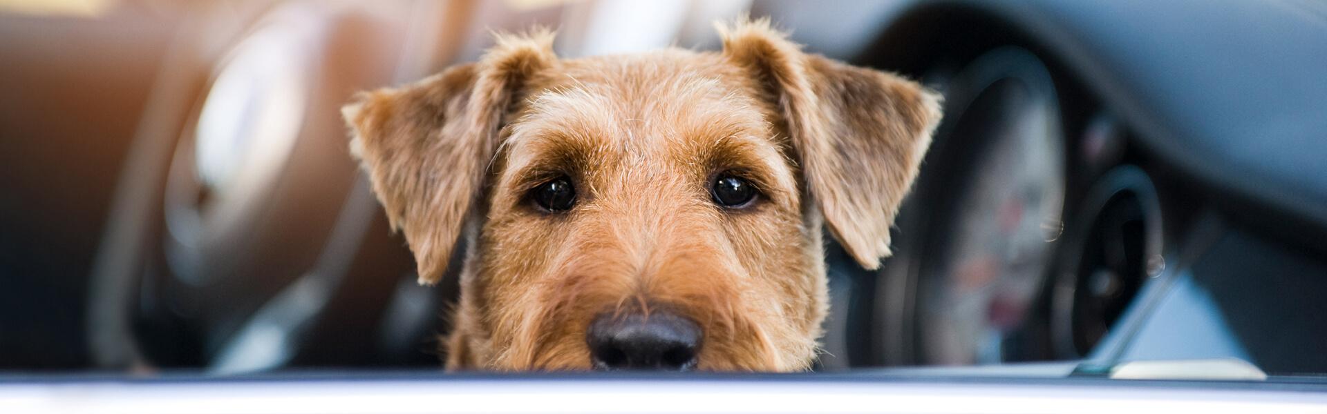 Ein Hund sitzt im Auto und schaut zum Autofenster heraus.